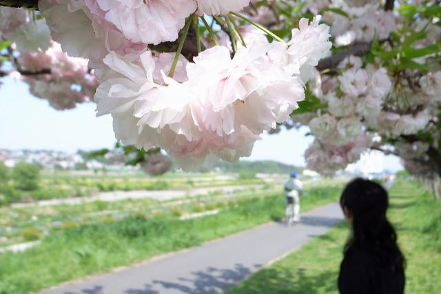 第6回あだち五色桜マラソン2018、日程・コース荒川河川敷!