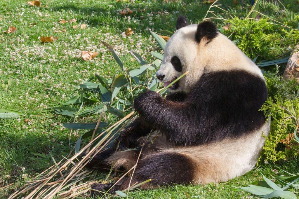 kotsuban-giant-panda135165