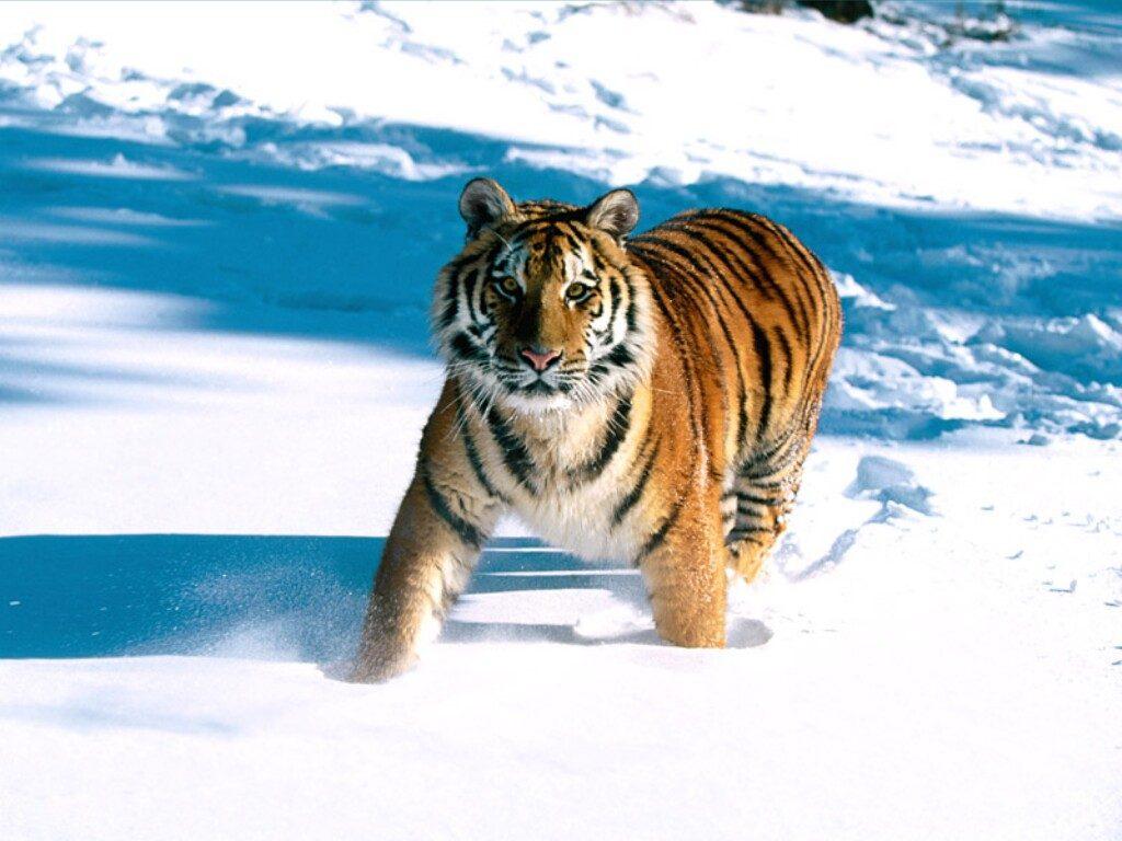 kotsuban-tiger103980
